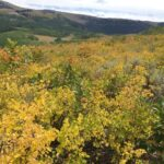 mountain snowberry patch in Utah mountains