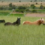 horses in a field of dryland pasture mix