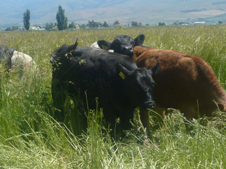 cows grazing Meadow Brome plants in valley pasture near mountains, scientific name bromus biebersteinii