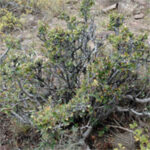 feather-like leaf brush known as Birchleaf or True Mountain Mahogany , scientific name cercocarpus montanus