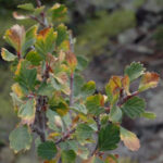 feather-like leaf branch known as Birchleaf or True Mountain Mahogany , scientific name cercocarpus montanus