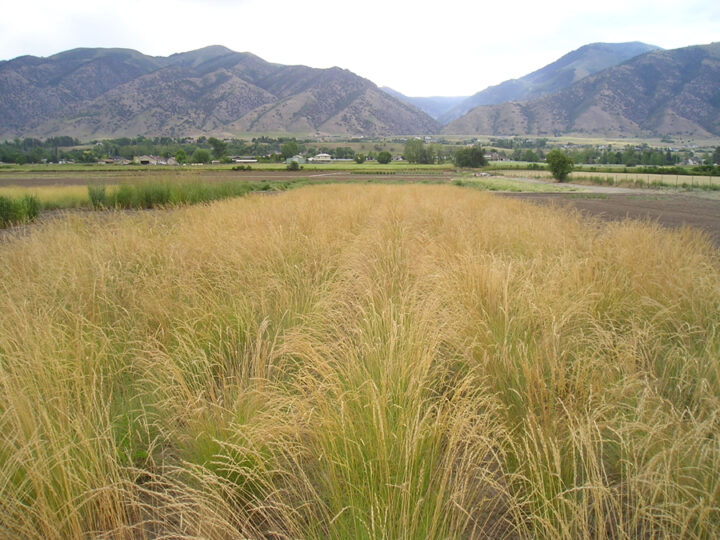 tall-like rows of snake River Wheatgrass in valley farm ground surrounded by mountains, scientific name elymus wawawaiensis