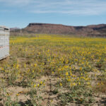 field of Annual Sunflower wildflowers near livestock trailer in southern utah mountains, scientific name Helianthus annuus