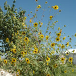 large Annual Sunflower plant growing in residents backyard, scientific name helianthus annuus