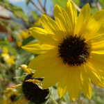 bee pollinating a Annual Sunflower, scientific name helianthus annuus