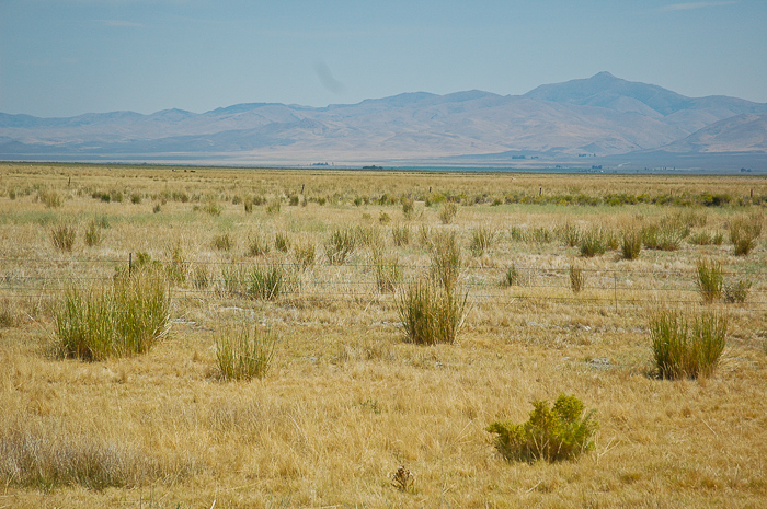 vegetated mountain valley pasture with tall clumps of Basin Wildrye plants, scientific name leymus cinereus, north of wells, nevada