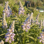 close up pink/purple flowered Silvery Lupine on mountain side, scientific name lupinus albifrons