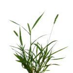 green Garrison Creeping Foxtail plant with a white background