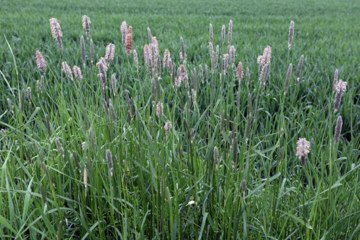 close up of Garrison Creeping Foxtail
