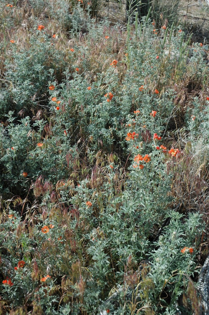 Scarlet Globemallow surrounded by downy brome