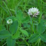 close up small leafed white flowered Alsike Clover plant in vegetation, scientific name trifolium hydridum