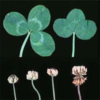 displayed growing stages of Ladino Clover plant on black background, scientific name trifolium repens