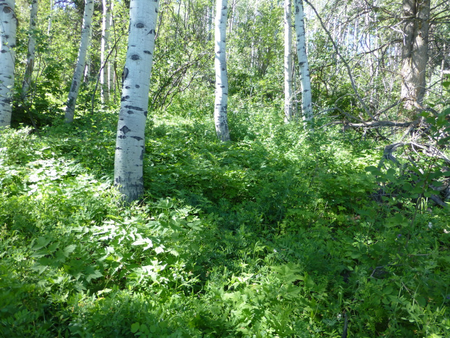Wolf Creek Aspen Community Seed Mix