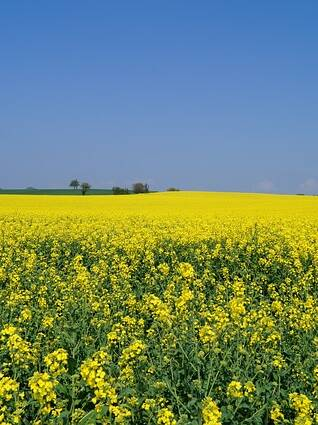 rapeseed for cover crop