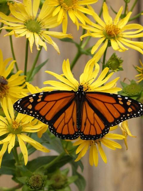 Monarch Butterfly Seed Mix