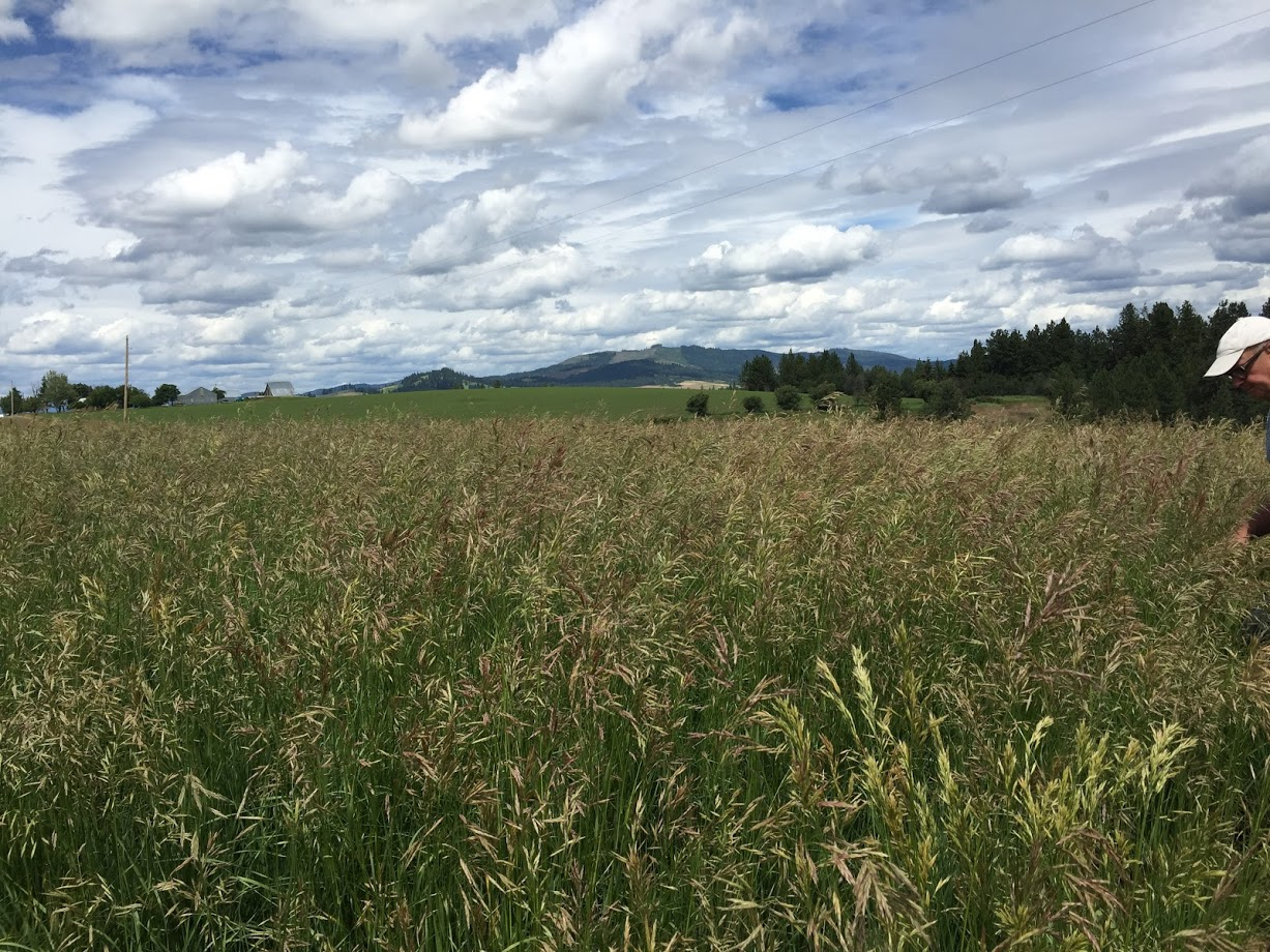 Cache Meadow Brome